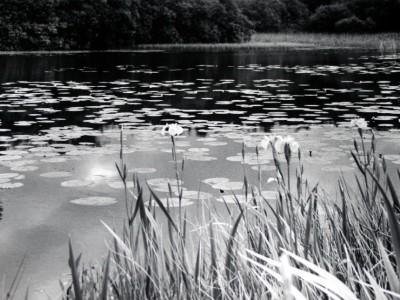 lillies-1385556119-jpg
