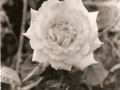 peace-rose-1402008638-jpg