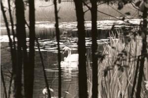 swan-guardian-ireland-1386887869-jpg